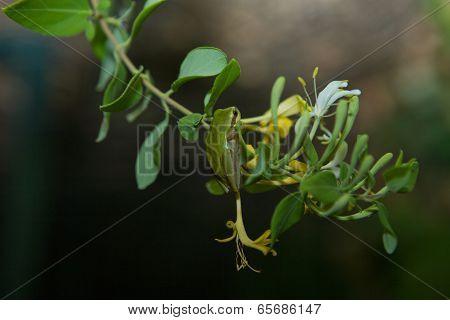 Hyla Arborea