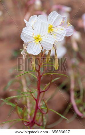 Oenothera Pallida — Pale Evening-primrose