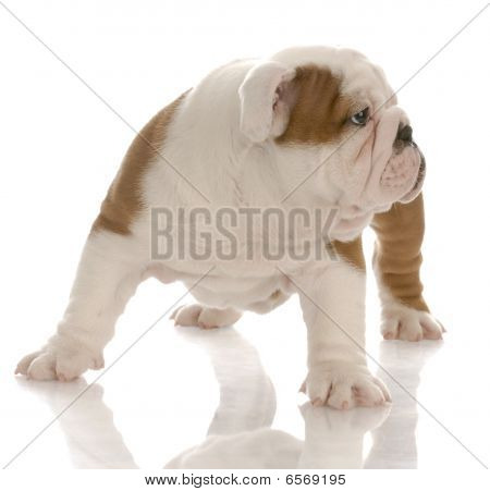 Bulldog Puppy Looking To Side