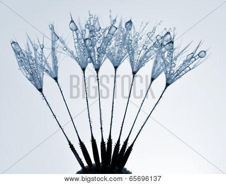 dewy dandelion close up
