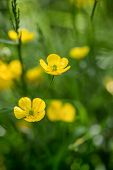 picture of buttercup  - Macro image of vibrant buttercups in wildflower meadow landscape - JPG
