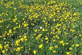 image of defloration  - Deflorate dandelion in the field of blooming dandelions - JPG