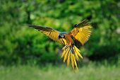 picture of green-winged macaw  - Front view on landing blue - JPG