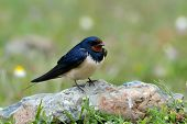 foto of swallow  - the barn swallow  in natural habitat  - JPG