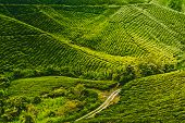 image of cameron highland  - Tea plantation in Cameron highlands - JPG