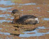 stock photo of grebe  - A single Pied - JPG