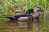 image of duck  - A male and female pair of Wood Ducks in the water with green grass in background - JPG