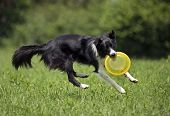 foto of frisbee  - Border collie catching frisbee close up shoot