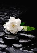 picture of gardenia  - gardenia flower on pebbles  - JPG