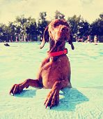 stock photo of vizsla  - a cute dog at a local public pool done with a retro vintage instagram filter - JPG