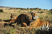stock photo of tiger cub  - A tiger cub showing its affection to its mother - JPG