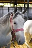 foto of lipizzaner  - Closeup of a head of the white Lipizzan horse in stabling - JPG