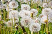 stock photo of defloration  - Overblown flowers of plant dandelion on the field - JPG