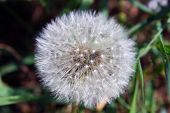 picture of defloration  - Deflorate spring fluffy dandelion seeds in nature - JPG