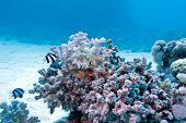 foto of damselfish  - coral reef with hard coral and exotic fishes white - JPG