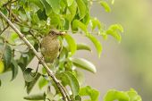picture of brown thrush  - The Clay Colored Thrush is commonly called a Yiguirro and is the national bird of Costa Rica - JPG