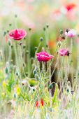picture of opium  - Opium poppy flower angkhang mountain chiang mai Thailand - JPG
