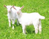 picture of hairy  - Two white baby goat against green grass - JPG