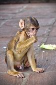 picture of macaque  - Young Barbary macaque  - JPG