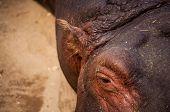 stock photo of hippopotamus  - The hippopotamus  - JPG