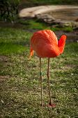 stock photo of flamingo  - The Flamingos or Flamingoes in Lisbon Zoo  - JPG