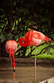 pic of flamingo  - The Flamingos or Flamingoes in Lisbon Zoo  - JPG