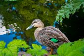stock photo of duck pond  - Duck wading through plants near a pond - JPG