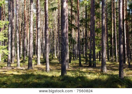 Spring Coniferous Forest