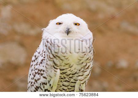 Quiet Predator Wild Bird Snowy White Owl