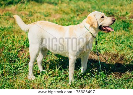 White Labrador Retriever Dog Standing On Grass