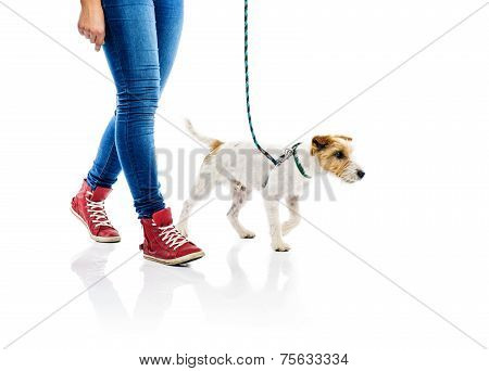 Cute dog on lead on walk with his owner