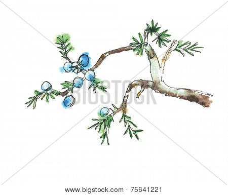 Branch of juniper tree, watercolor vector illustration