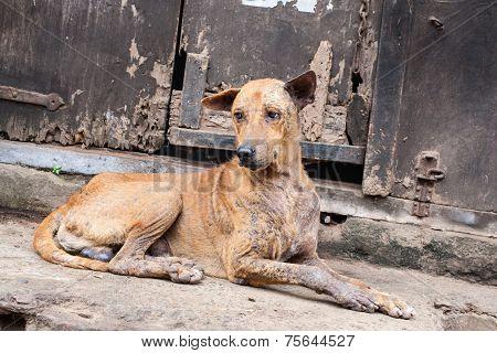 Mangey dog - East India.