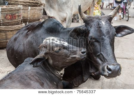 Cows in the streets of Puri.