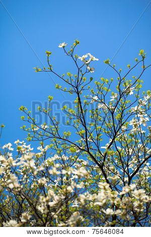 White flowering dogwood tree (Cornus florida), Japan