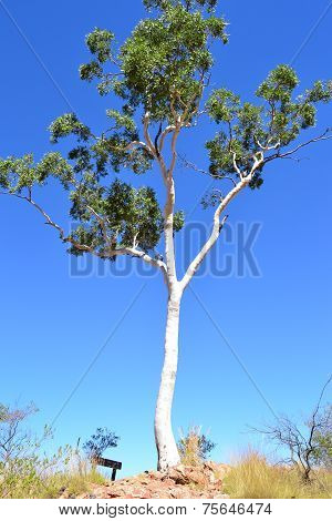 White Gum Tree