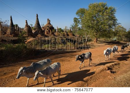 Cow Around The Stupas Of Inn Taing Temple On Inle Lake In Myanmar.