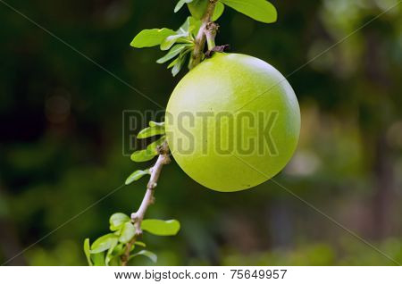 Calabash Fruit