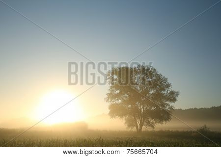 Willow tree at sunrise