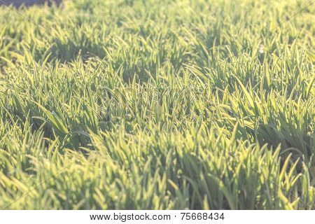 Background Of Natural Fresh Green Grass