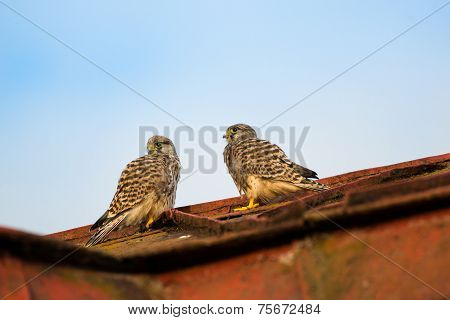 Two Young Kestrels Falcons Sitting On A Roof And Watching