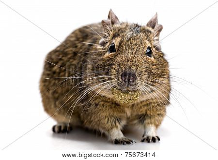 Degu Mouse With Pet Food In The Mouth