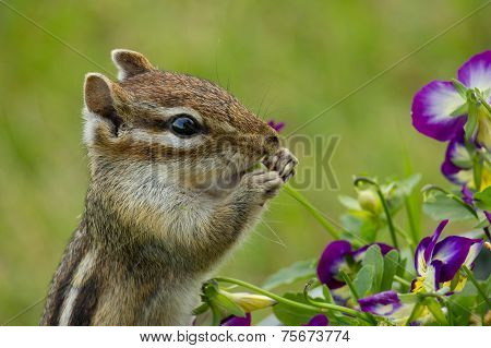 Chipmunk Eating Violas