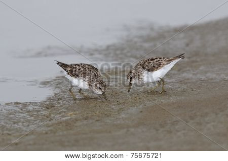 Least Sandpipers Foraging On A Mudflat - Texas