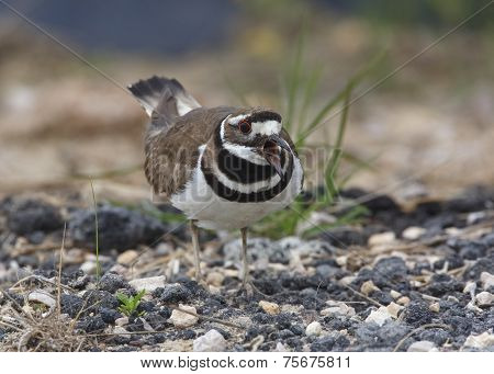 Killdeer Calling And Defending Its Nesting Territory