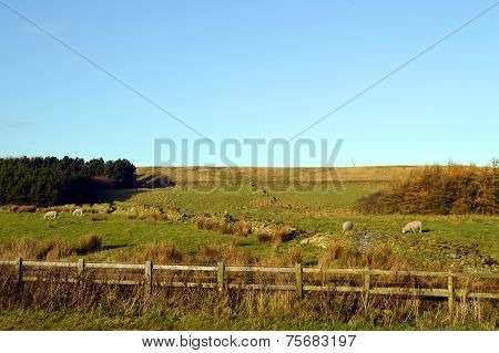 Sheep in a field on the West Pennine Moors near Darwen