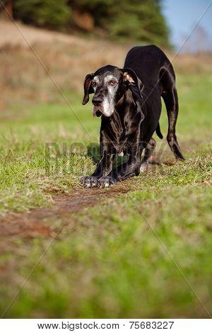 beautiful old great dane dog