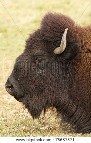 Bison Headshot Profile