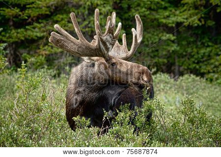 Bull Moose In The Wild