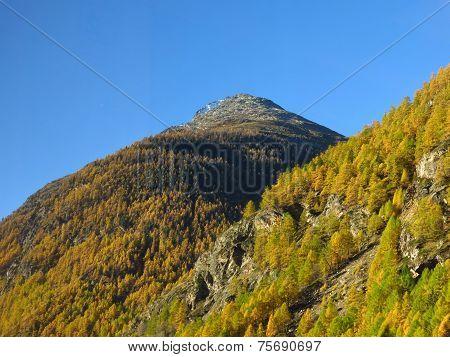 Golden Larch Forest Near Zermatt